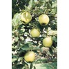 3.25-Gallon Ein Shemer Semi-Dwarf Apple (L6121)