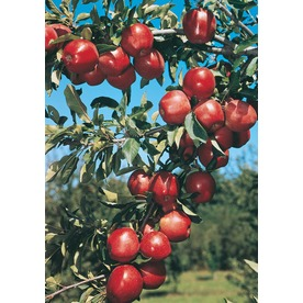 3.25-Gallon Red Delicious Semi-Dwarf Apple Tree (L3591)