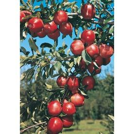 3.25-Gallon Red Delicious Semi-Dwarf Apple Tree (L3591)