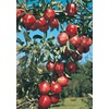  3.25-Gallon Red Delicious Semi-Dwarf Apple (L3591)