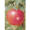 3.25-Gallon Jonathan Semi-Dwarf Apple (L4515)