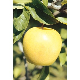 3.25-Gallon Golden Delicious Semi-Dwarf Apple Tree (L1275)