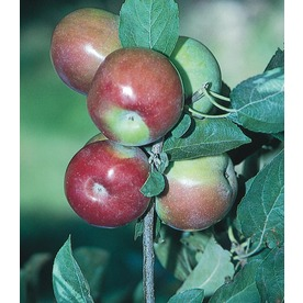 3.25-Gallon Mcintosh Semi-Dwarf Apple Tree (L3590)