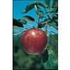  3.25-Gallon Winesap Semi-Dwarf Apple (L4518)