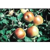  3.25-Gallon Fuji Semi-Dwarf Apple (LW01653)