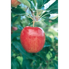 3.25-Gallon Gala Semi-Dwarf Apple Tree (L16599)