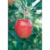 3.25-Gallon Gala Semi-Dwarf Apple Tree (L16599)