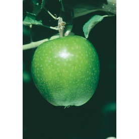 3.25-Gallon Granny Smith Dwarf Apple Tree (L1064)