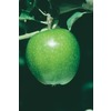 3.25-Gallon Granny Smith Dwarf Apple (L1064)