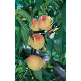 3.25-Gallon Belle Of Georgia Semi-Dwarf Peach Tree (L6144)