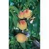 3.25-Gallon Belle Of Georgia Semi-Dwarf Peach Tree (L6144)
