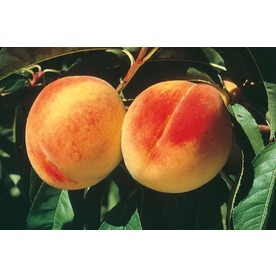 3.25-Gallon Elberta Semi-Dwarf Peach (L3652)