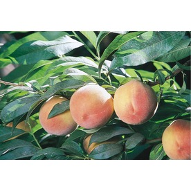 3.25-Gallon J. H. Hale Semi-Dwarf Peach Tree (L3653)