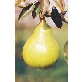 3.25-Gallon Bartlett Semi-Dwarf Pear (L3669)