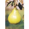 3.25-Gallon Dwarf Kieffer Pear (L1388)