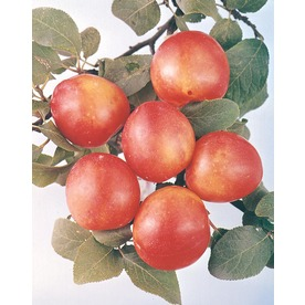 3.25-Gallon Bruce Semi-Dwarf Plum (L6335)