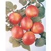 3.25-Gallon Bruce Semi-Dwarf Plum Tree (L6335)