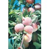  3.25-Gallon Burbank Semi-Dwarf Plum (L3228)