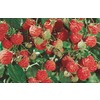 1-Gallon Raspberry (L5813)
