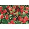1-Gallon Raspberry Small Plant (L5813)