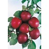  3.25-Gallon Methley Semi-Dwarf Plum (L14151)