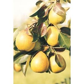 3.25-Gallon Moonglow Semi-Dwarf Pear Tree (L4569)