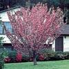 3.25-Gallon Kwanzan Flowering Cherry Tree (L1023)