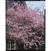 3.25-Gallon Kwanzan Flowering Cherry (L1023)