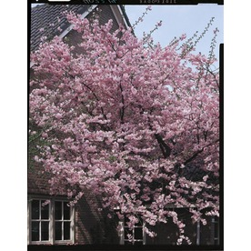 5.5-Gallon Kwanzan Flowering Cherry (L1023)