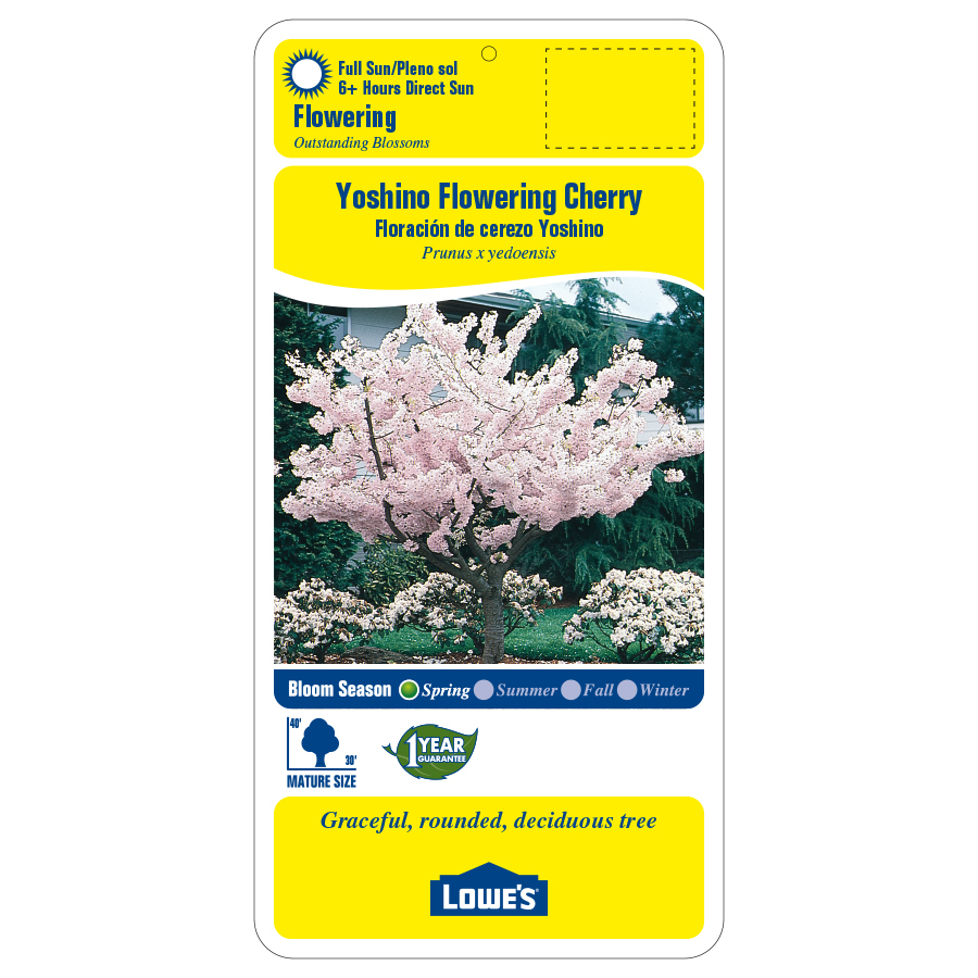 3 25 Gallon Multicolor Yoshino Flowering Cherry Flowering Tree In Pot L3234 In The Trees Department At Lowes Com
