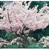  3.25-Gallon Yoshino Flowering Cherry (L3234)