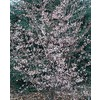  3.25-Gallon Okame Flowering Cherry (L7100)