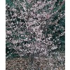 5.5-Gallon Okame Flowering Cherry (L7100)