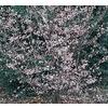 10.25-Gallon Okame Flowering Cherry (L7100)