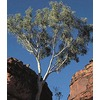  3.25-Gallon Eucalyptus (L14900)