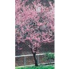 3.25-Gallon Redbud (L11838)