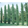  10.25-Gallon Italian Cypress Tree (L3291)