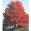 3.25-Gallon October Glory Maple (L3171)