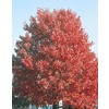  5.5-Gallon October Glory Maple (L3171)