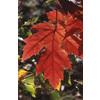 5.5-Gallon Autumn Blaze Maple (L1123)