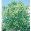  3.25-Gallon Silver Maple (L1124)