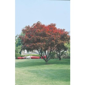 2.25-Gallon Upright Red Japanese Maple (L2657)