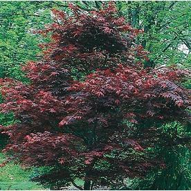 5.5-Gallon Dwarf Red Japanese Maple (L17076)