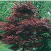  5.5-Gallon Dwarf Red Japanese Maple (L17076)