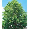  10.25-Gallon Sycamore Tree (L1049)