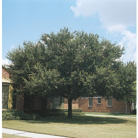 3.25-Gallon Live Oak (L3670)