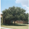 3.25-Gallon Live Oak Tree (L3670)