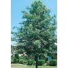  10.25-Gallon Pin Oak (L1097)