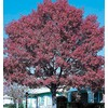 3.25-Gallon Shumard Oak (L1085)