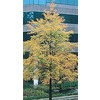 3.25-Gallon Willow Oak (L1407)